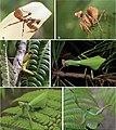 Hondurantemna chespiritoi (10.3897-zookeys.680.11162) Figure 18.jpg