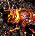 Hornet. Head detail - Flickr - gailhampshire.jpg