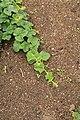 Horngurke - Kiwano - Cucumis metuliferus im Garten, kletternd 05 ies.jpg