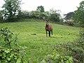 Horse in field - geograph.org.uk - 441059.jpg