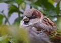 House Sparrow (8269485369).jpg