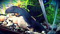 How to feed an axolotl.jpg