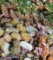 Huernia macrocarpa var penzigii.jpg