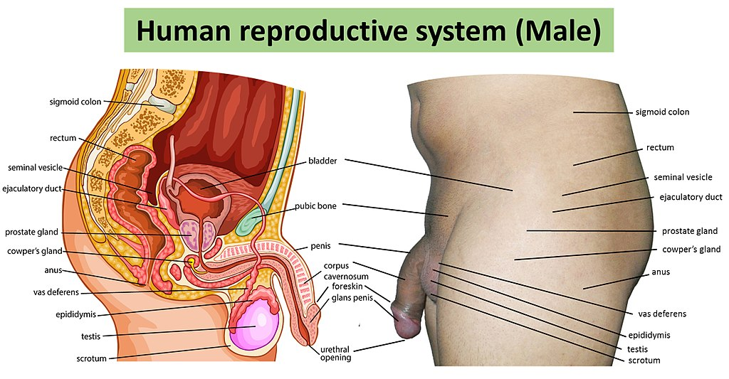 File:Human reproductive system (Male).jpg - Simple English Wikipedia ...
