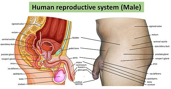 sexual intercourse diagram wiki