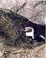 Humboldt pinguin op ei.jpg