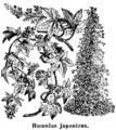 Humulus japonicus (Dammer).png
