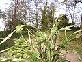 Humulus lupulus shoots1.jpg