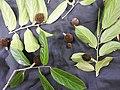 Hydnocarpus pentandra-3-thenmala-kerala-India.jpg