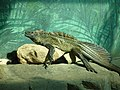 Hydrosaurus pustulatus -Taronga Zoo, Sydney Zoo, Australia-8a (1).jpg