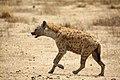 Hyena (4182239940).jpg