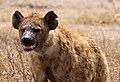 Hyene tachetée.jpg