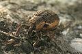 Hypera zoilus on Betula Richard Bartz.jpg