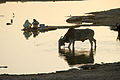 ILRI, Stevie Mann - Women washing and cow drinking at a river in Rajasthan, India.jpg