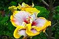 IMG 8275 Hibiscus Photographed by Peak Hora.jpg