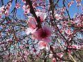 I fiori delle piante di genere Prunus.jpg