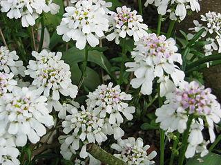 <i>Iberis sempervirens</i> species of plant