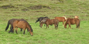 Horse transports in the Middle Ages - Icelandic horses were transported by Norse ships to Iceland by settlers in the 9th century.
