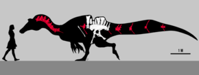 Drawing of fossil neck, ribs, backbones, pelvis and tail bones superimposed on silhouette of a dinosaur, with a silhouette of a human on the left