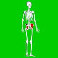 Iliacus muscle03.png