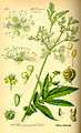 Illustration Filipendula ulmaria0.jpg
