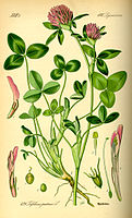 Illustration Trifolium pratense0.jpg