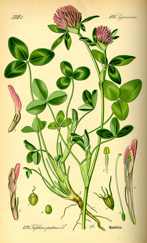 500px illustration trifolium pratense0