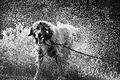 Illyrian Shepherd.jpg