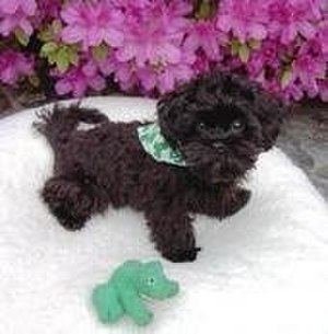 Poodle crossbreed - Female Shih-poo, a crossbreed between a Poodle and a Shih Tzu.