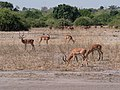 Impala Herd (48523892837).jpg