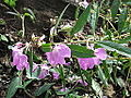Impatiens balsamina-yercaud-salem-India.JPG