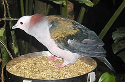 Chestnut-naped Imperial Pigeon Ducula aenea paulina. Other names for this bird are Celebes Imperial Pigeon, Celebes Green Imperial Pigeon and Green Imperial Pigeon.