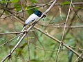 Indian Paradise Flycatcher (24139138656).jpg