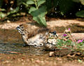 Indian Silverbill (Lonchura malabarica) bathing W IMG 7798.jpg