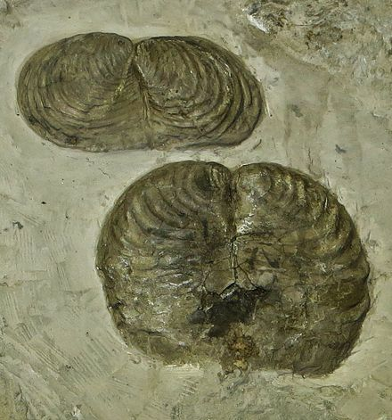 Palaeontologists are limited to morphological evidence when deciding whether fossil life-forms like these Inoceramus bivalves formed a separate species. Inoceramus cripsii Creta sup Bergamo.JPG