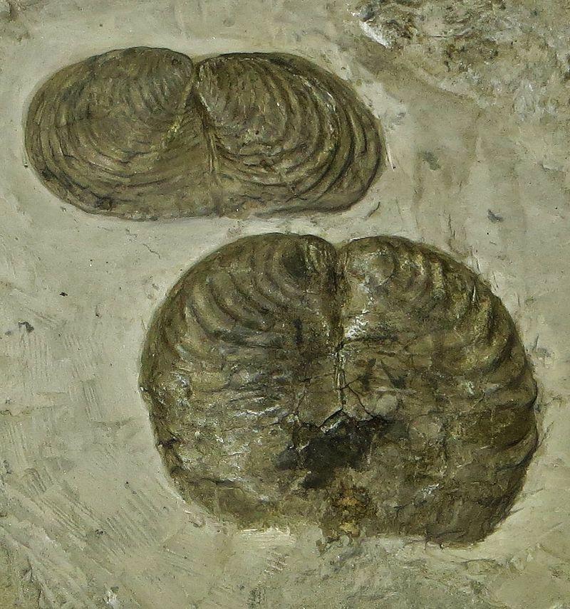 Inoceramus cripsii Creta sup Bergamo.JPG