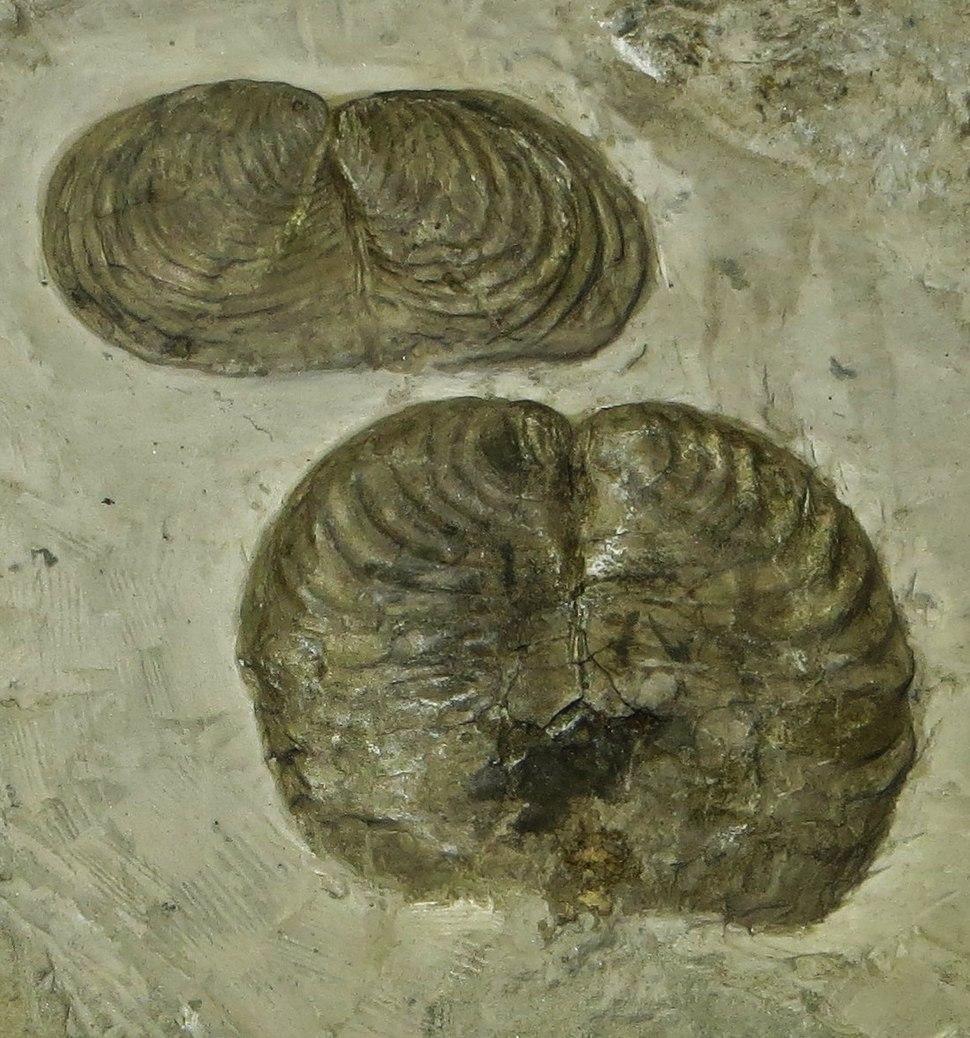 Inoceramus cripsii Creta sup Bergamo