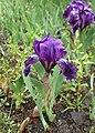 Iris aphylla kz01.jpg