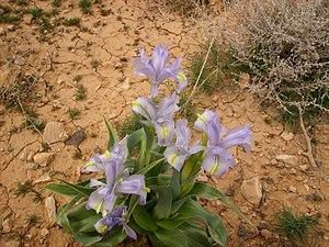 Iris aucheri - Image: Iris aucheri in Syria