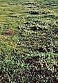 Islandia, flora (1981) 01.jpg