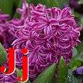 J jacinthe.jpg