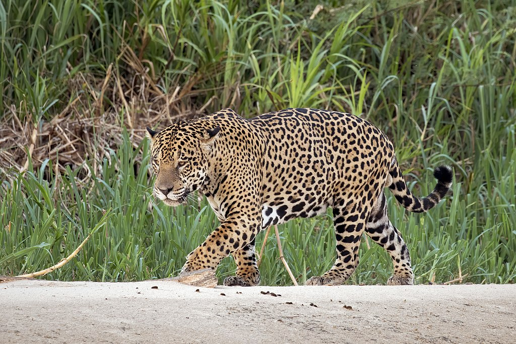 https://upload.wikimedia.org/wikipedia/commons/thumb/a/ae/Jaguar_%28Panthera_onca_palustris%29_male_Three_Brothers_River_2.jpg/1024px-Jaguar_%28Panthera_onca_palustris%29_male_Three_Brothers_River_2.jpg
