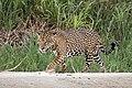 Jaguar (Panthera onca palustris) male Three Brothers River 2.jpg