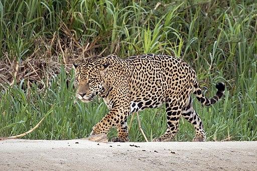 Jaguar (Panthera onca palustris) macho, a orillas del río Tres Hermanos, afluente del río Cuiabá, en Pantanal, Brasil
