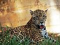 Jaguar Belo Horizonte Zoo Portrait.jpg