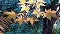 Japanese Maple Leaves Hillsborough NC 083831 (35965621682).jpg
