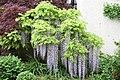 "Japanese Wisteria (Wisteria floribunda) ""Nuda"" (3501616733).jpg"