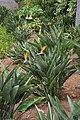 Jardim Botânico da Madeira DSC 0394 (14700097005).jpg
