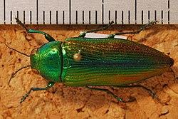 Jewel Beetle (Eurythyrea aurata) (8270288802).jpg