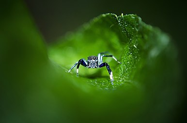 Jumping Spider in a green tunnel.jpg